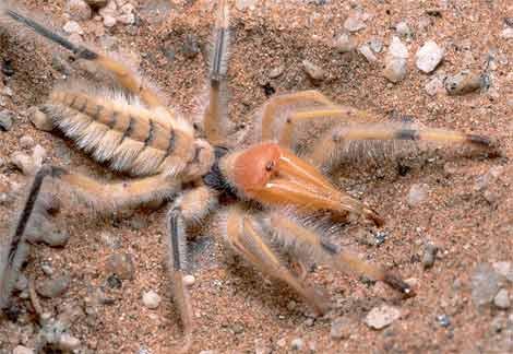 Deve örümceği (Sarı ömer)
